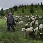 Owce w górach (zdjęcie Igor Jaszczur)